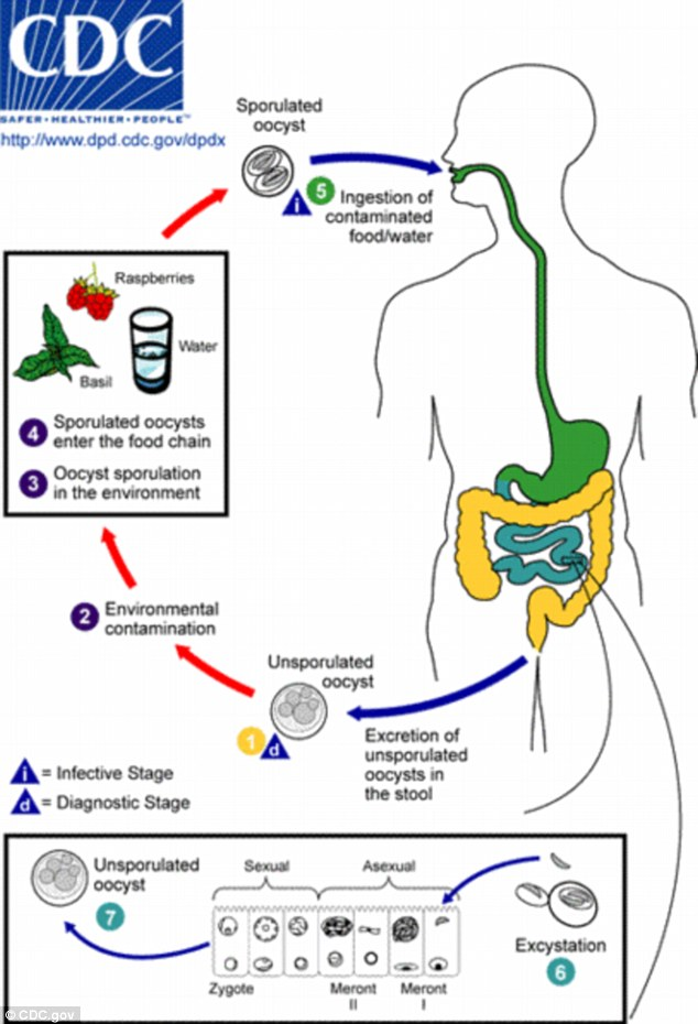 How it infects: The lifecycle of the Cyclospora parasite, as explained by the Centers for Disease Control and Prevention