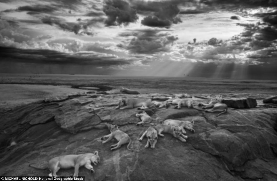 Pride of the Serengeti Plains: A pride of lions - including five lionesses and eight cubs rests near a hilltop waterhole