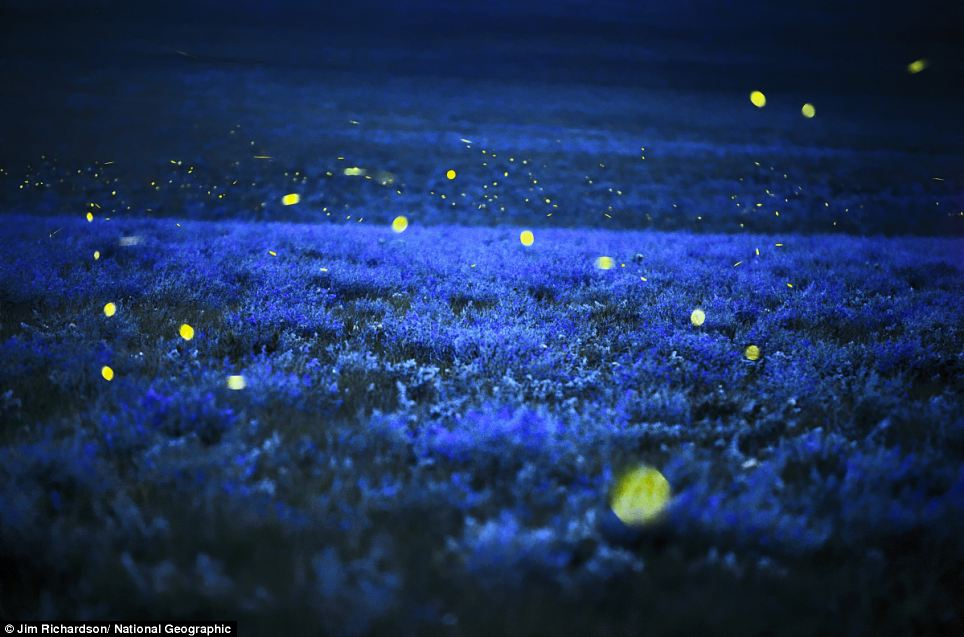 Lightning bugs at the Tallgrass Prairie Preserve north of Cottonwood Falls, Kansas
