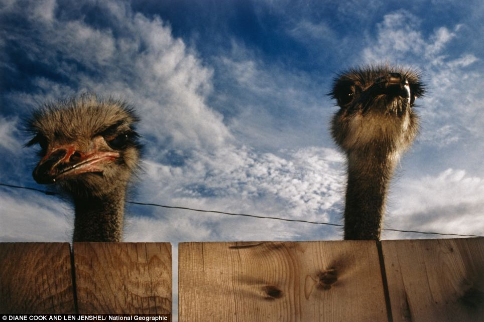 Two ostriches (Struthio camelus) inquisitively look over a wooden plank fence