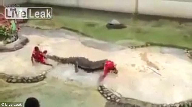 Predator: The trainer was tossed from side to side as the crocodile thrashed around in the shallow water