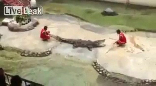 Dangerous: The crocodile trainer was seen crouching before the deadly reptile at the farm in Bangkok