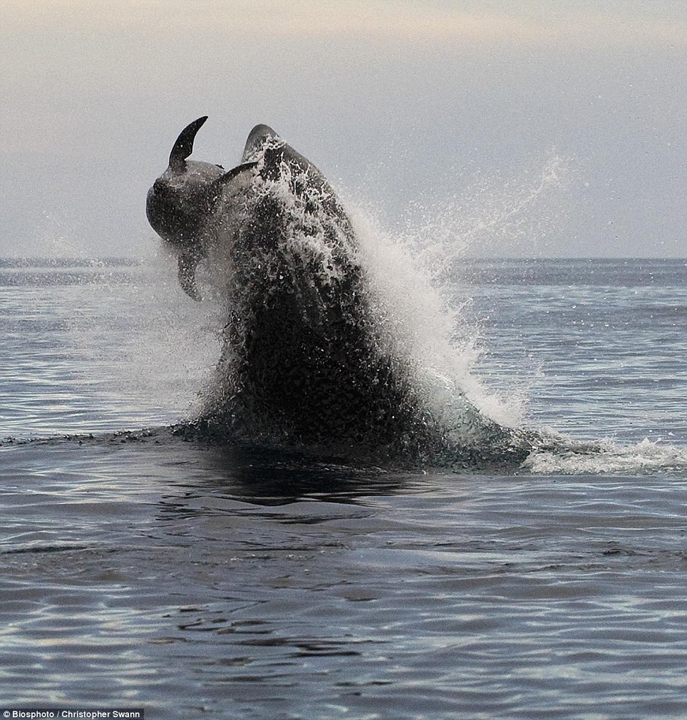 Gruesome: As darkness fell, the whales had the dolphin on the surface and it was all over