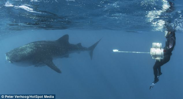 30 Ton Whale Sharks Are Harpooned So That Scientists Can