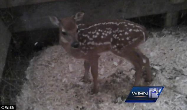 Reaction: Cindy Schulze, the shelter's president, questioned whether the raid was a good use of government resources and accused authorities of going 'way over the top for a little, tiny, baby deer.'