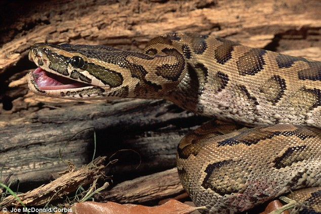 The snake in question was an African Rock Python, said to be 14 to 16 feet long. Even the owner admitted it was 'vicious.'