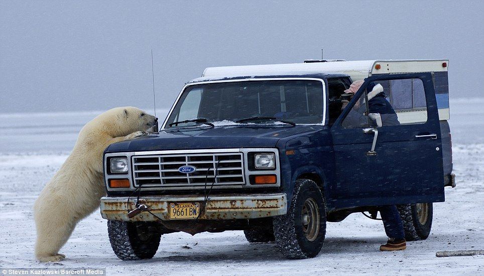Adolescent: Mr Klazowski estimated that the polar bear was around five years old; he said older, wiser bears were less likely to show such an interest in people and trucks