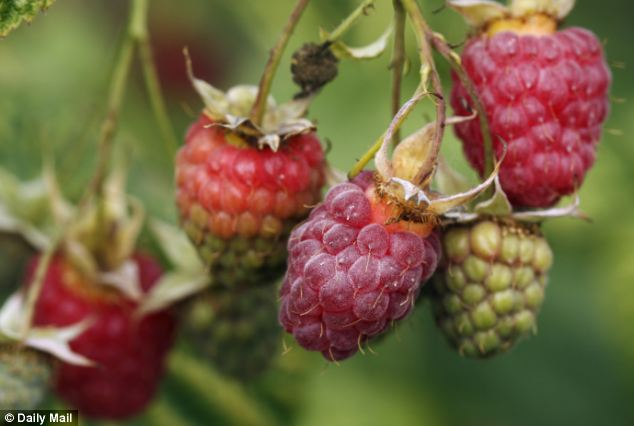 Wellbeing: Eating fresh raspberries could help boost chances of fatherhood because of their Vitamin C and antioxidants