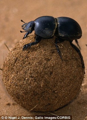 Flightless dung beetle: In Addo Elephant Park in South Africa