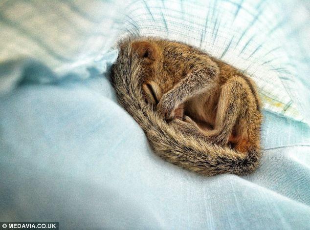 Rob, palm squirrel