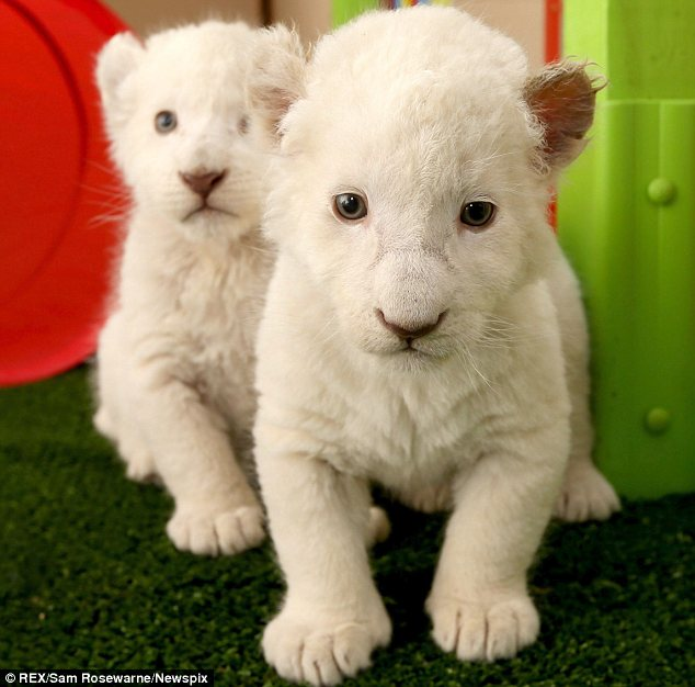 Pictures White lion cubs unveiled by Zoodoo Wildlife Park in Tasmania  Daily Mail Online