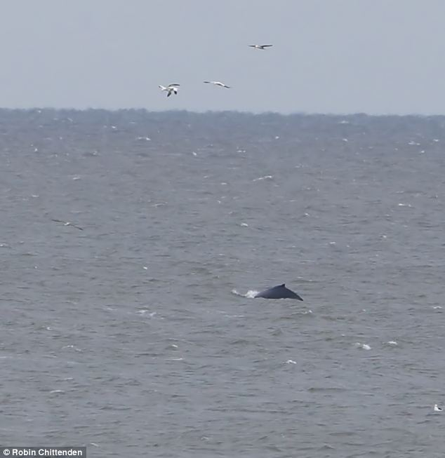 Unusual visitor: A humpback whale, pictured, has been seen off the coast of Norfolk for the first time