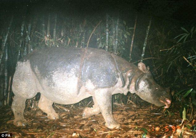A Javan rhino captured on camera in Vietnam's Cat Tien National Park, the last Javan rhinoceros in Vietnam was found dead in the park in April 2010