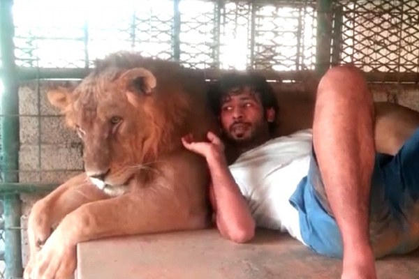 Relaxing: Another lion and his owner relax in a picture posted to the account of Humaid AlBuQaish - who regularly updates his Instagram account with pictures of his incredible big cats