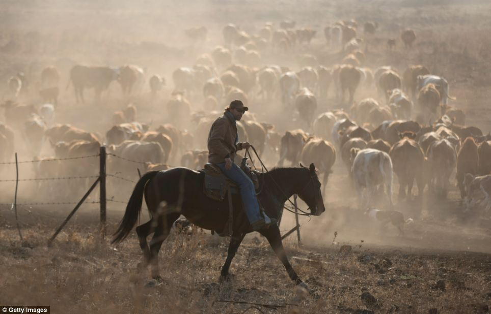 Israeli cowboy Shay Zerbib rides his horse as he moves his herd back to the Merom Golan ranch in the Israeli-annexed Golan Heights