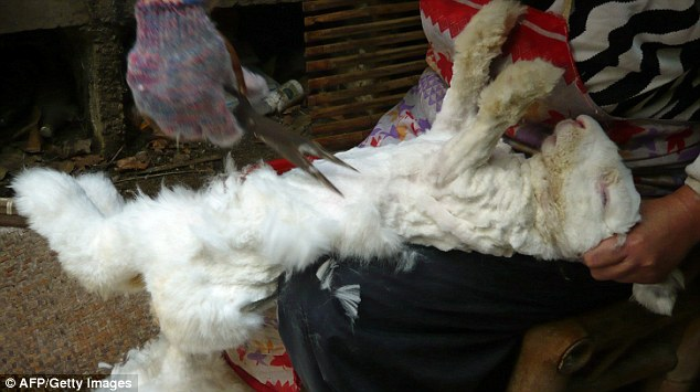 The woman holds the rabbit by the ears while trimming its fur at the Chinese angora farm