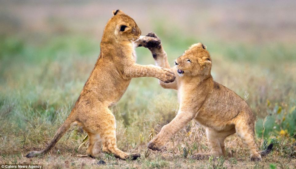 Roar routine? One cub stands while the other reaches up to place its paws on its partners - perhaps getting ready for a sort of ballroom dance