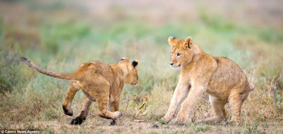 Paw performance: One of the cubs looks rather terrified as his partner takes a run-up. Perhaps the duo were about to try out a gymnastic lift