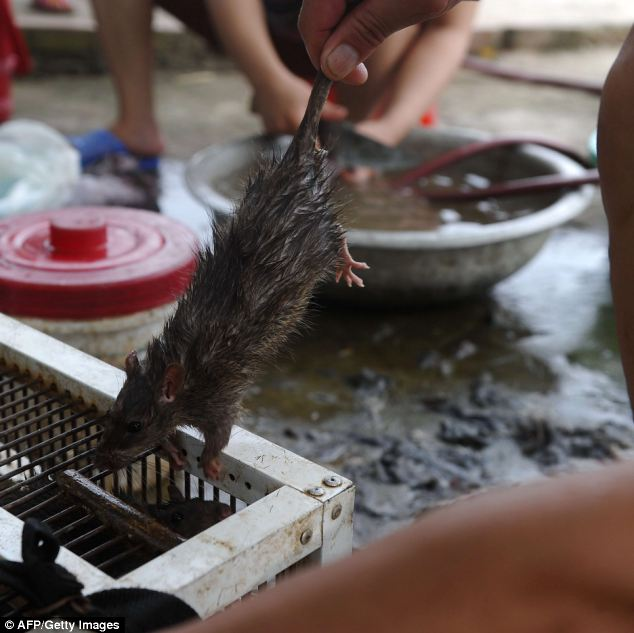 About to be skinned: Eating rat is popular among both Northern Red River delta and Southern Mekong River delta people