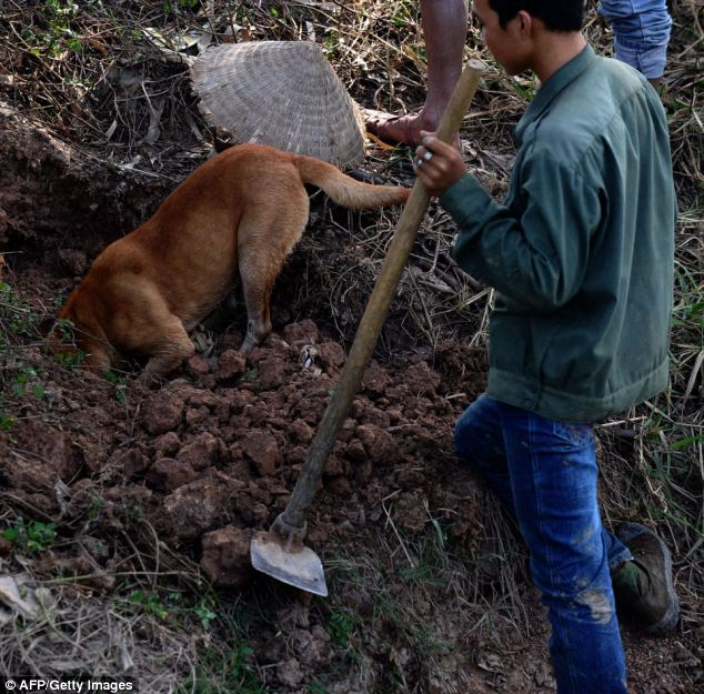 A rat hunter looking on as a dog digs a hole during a hunting trip in a field in the Hoai Duc district on the outskirts of Hanoi