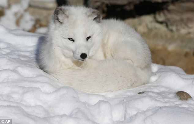 Brrr! Nola the arctic fox curls up in the snow at Denver Zoo, which was closed due to extreme cold Thursday