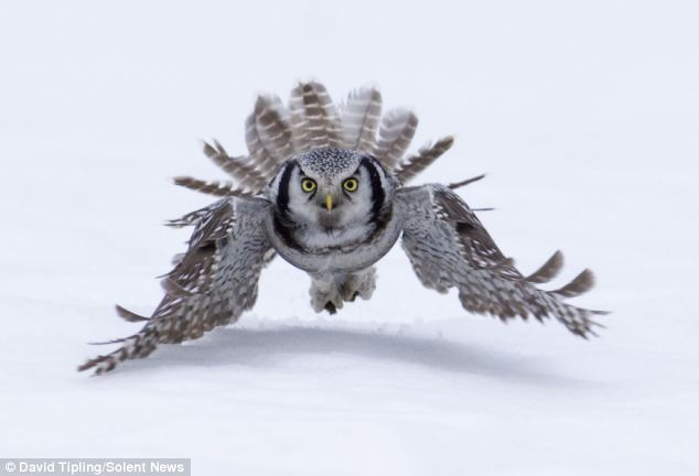 The book by Jari Peltomaki and his friend David Tipling focuses on owls. Here a Hawk owl hunts in the snow