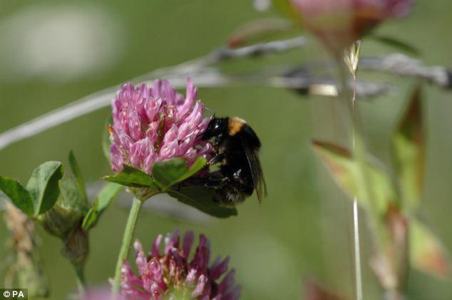 Prosperar: Un proyecto de reintroducción del abejorro de pelo corto a Gran Bretaña ha provocado un regreso por cinco más variedades de abejas