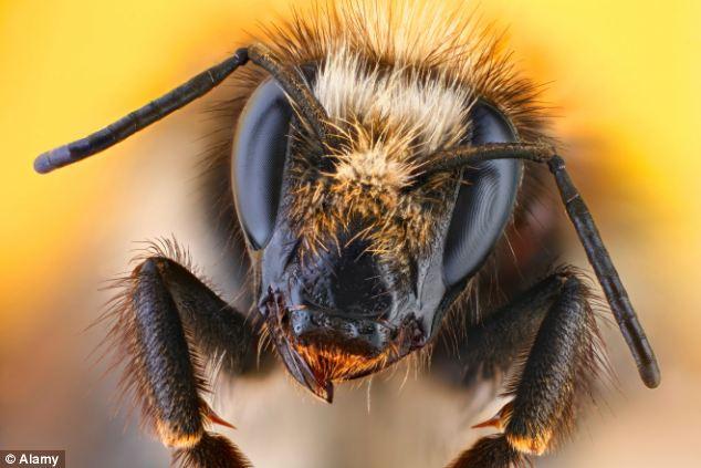 Revival: Se han encontrado varias especies de abejas carder en número creciente en la base del proyecto cerca de Dungeness, Kent