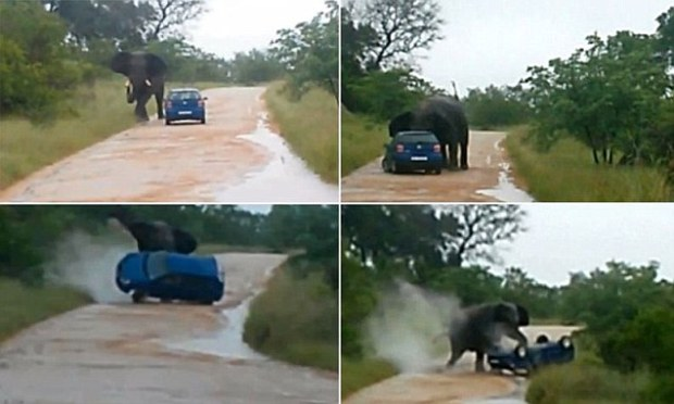 Terrifying moment British teacher is gored by an elephant through her CAR as it flips it with its trunk on a Safari park's dirt road