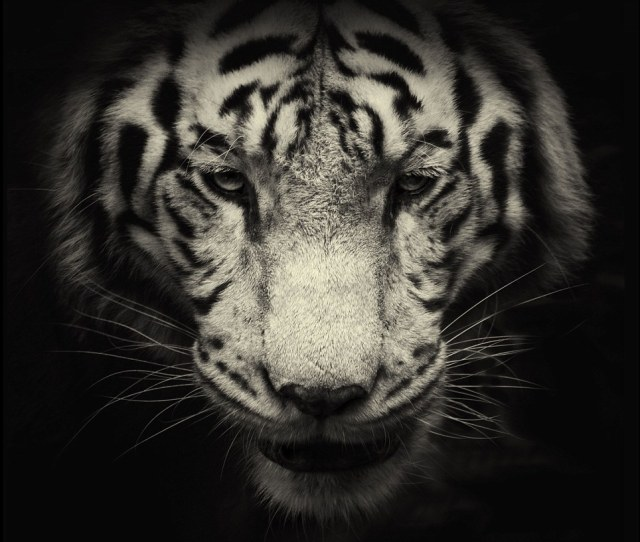 Roar Deal A White Tiger Gazes Into The Camera In One Of Photographer Alex Teuschers
