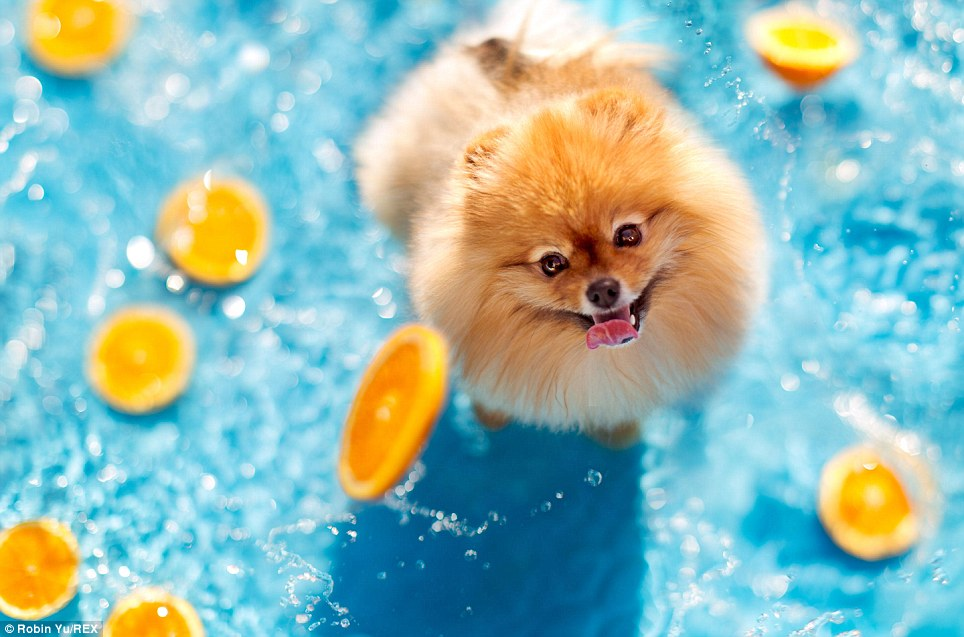 Pomeranian Flint the dog now has his own book and calendar