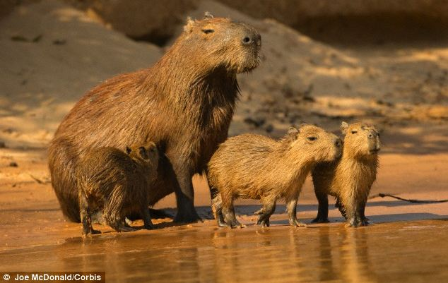 Rats could grow to the size of cows or even bigger as they evolve to fill vacant ecological niches, it is claimed. Pictured here is the capybara - the largest rodent in the world