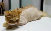 little big cats animal haircuts