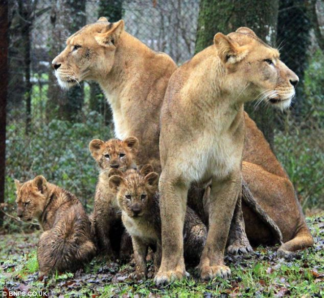 At play: Lions and cubs, left, from the pride that was culled by vets at Longleat, pictured three weeks