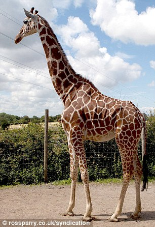 A giraffe in a similar pose to contortionist Beth Sykes