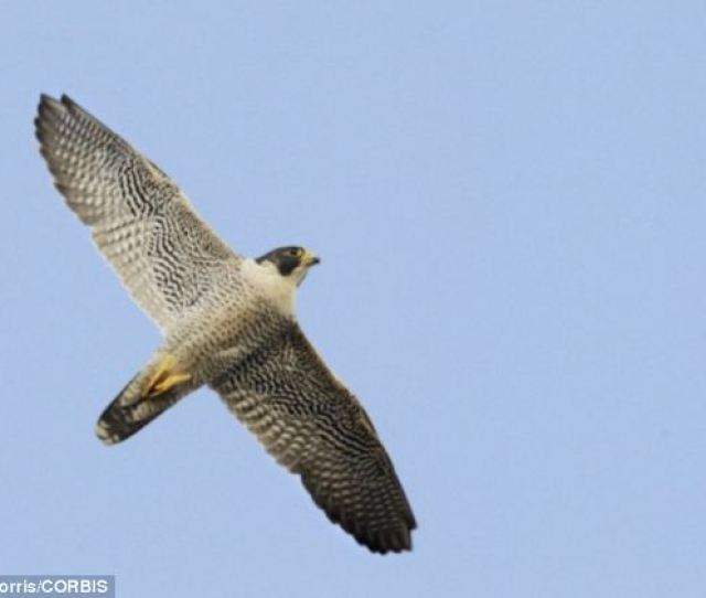 Peregrine Falcons Pictured Are The Fastest Animals In The World They Were Once