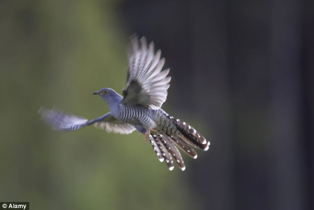 He was a cuckoo enthusiast, and wrote a book about the species. It appealed to Knight because, like a spymaster, the cuckoo was both subversive - infiltrating its eggs into other birds' nests - and ruthless