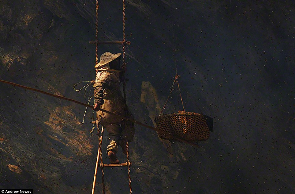 Using one of the bamboo poles known as a tango to push the basket hanging beside him up against the cliff face, the cutter catches the honeycomb as it falls before the basket is then lowered to the ground