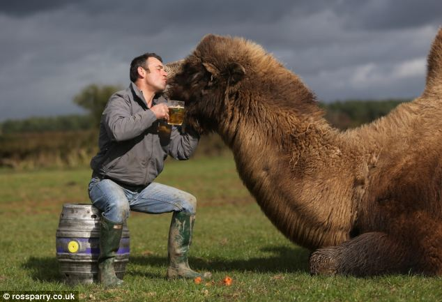 Embrace: The imposing Russian camel, who can survive temperatures as low as -25C, was imported from Holland seven years ago as a 19th birthday present for Mr Grant's son Tom