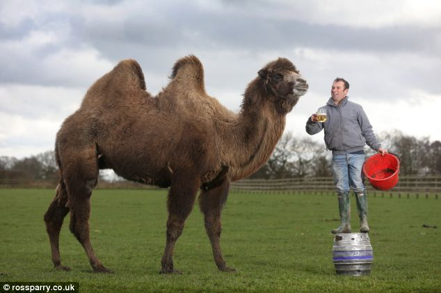 Punchline: Jeffrey the pet camel, pictured with his owner racehorse trainer Simon Grant loves to down pints of lager