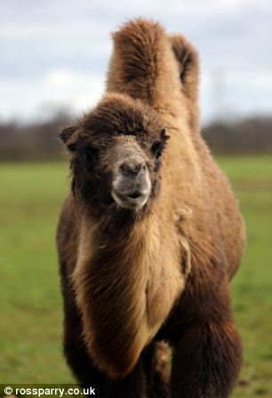Up close: Jeffrey the camel
