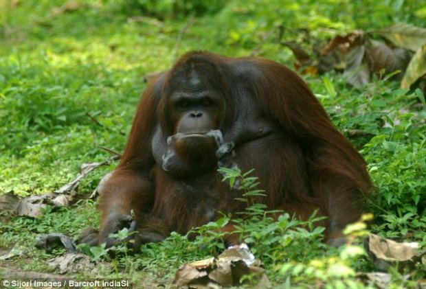 Exhale: Smoke can be seen billowing from the orangutan's mouth as he sits back on some grass