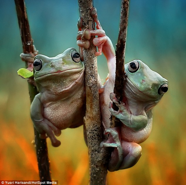 This picture shows a pair of photogenic frogs which appear to be holding hands while perched in a tree