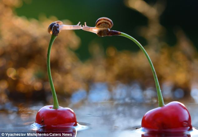 Locking lips: Two snails are captured kissing while perched on top of cherry stems near Berdichev in Ukraine