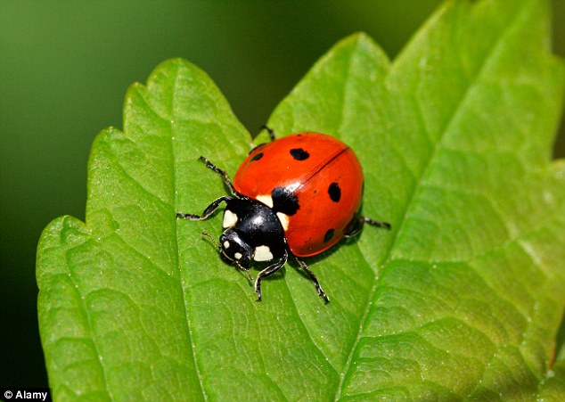 Ladybirds That Arrive In The Post Insects Sold Via Mail