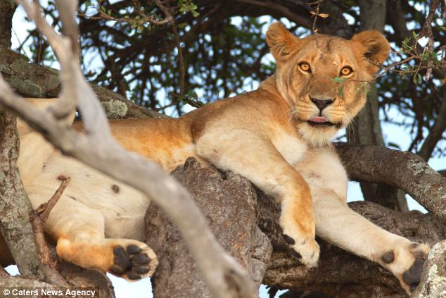 Lions sleeping in trees, while not unheard of, is not common. They prefer to sleep in packs on the ground