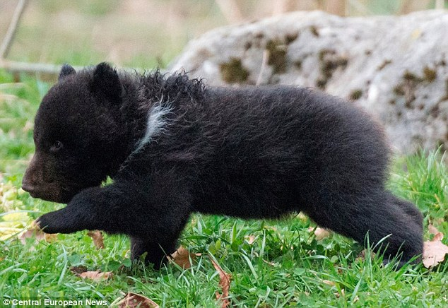Distress: The cub, nicknamed Baby Bear 4, was not separated from its father even after its twin Baby Bear 3 was killed in the enclosure. It is common for males and even females to kill their own cubs