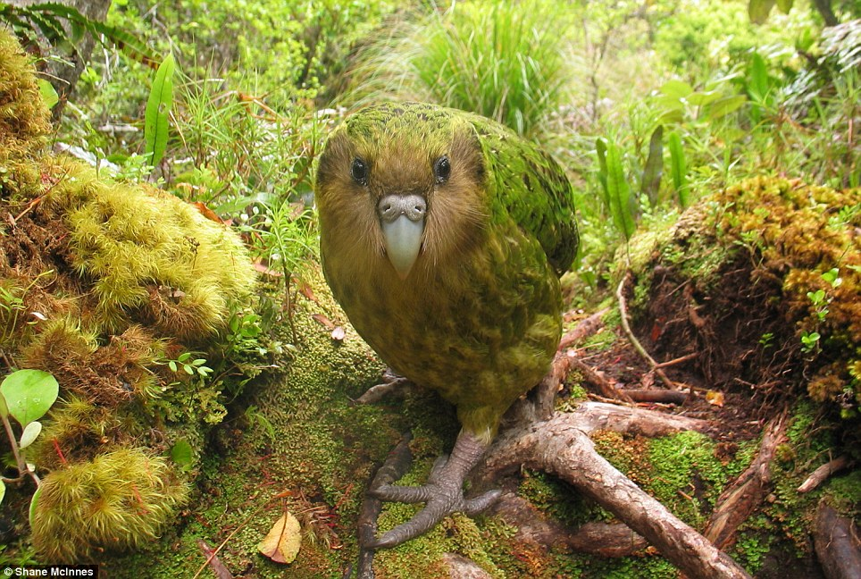 Extensive research has revealed the world's 100 most distinct birds that are threatened with extinction, including the New Zealand kakapo seen here, the world's heaviest parrot. The male kakapo produces a loud boom call to attract potential mates which can be heard up to three miles (five kilometres) away