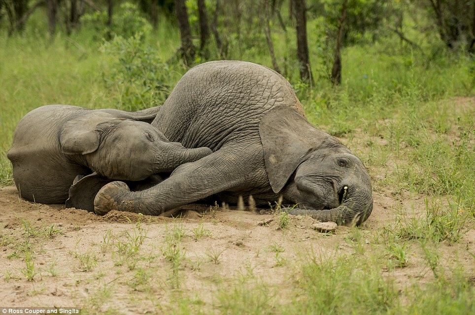 Image result for tipsy elephant pictures