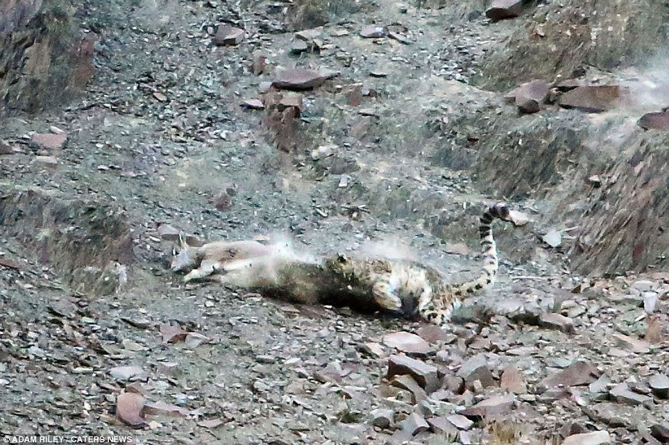 Invisible Predator Snow Leopard Is Almost Impossible To